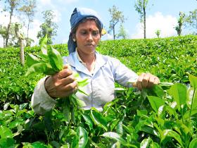 標高900mあたりの茶畑で、手作業をする茶摘みさん。