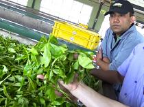 工場のラインで、茶葉の品質を実際に手で確かめる。