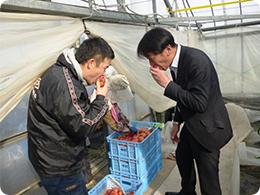 収穫したばかりのトマトを食味