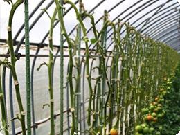 Uターン栽培のトマト。徹底した古葉の除去で不思議な姿に・・・