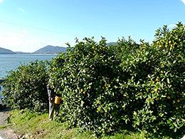 うしろは瀬戸内海。素晴らしいレモンの環境
