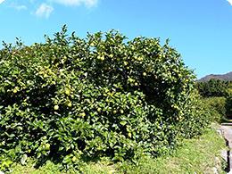 これが1本のレモンの樹。いくつのレモンが生ると思いますか?