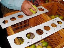 レモンは手作業でサイズ別に振り分けられます