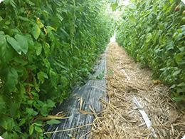 通路にもカヤが敷かれています。栽培終了後これも土づくりのため鋤きこまれます。