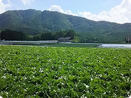 渡辺さんのレタス圃場風景