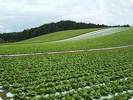 レタス一面の畑1
