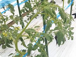 水を抑えているトマトの茎
