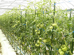 鈴生りのトマト