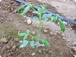 粘土質土壌に定植したトマト苗