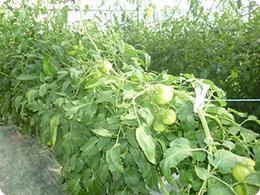 元気に育っているトマトの実