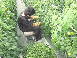 葉かき作業をする高校生の写真