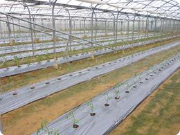 トマトの苗を定植したばかりの圃場