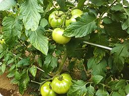 5月下旬のトマト