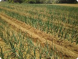 5月上旬の玉ねぎ畑