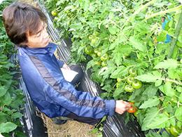 トマトの生育状況を確認する吉塚さん