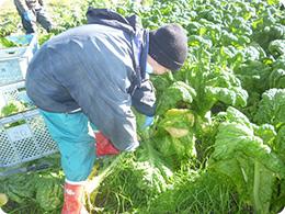 『かつお菜』の収穫