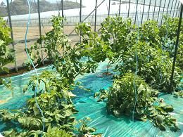 5月から収穫予定の春作トマト