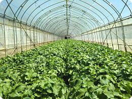 銚子の特産品、大根も栽培