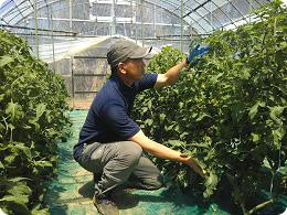 「令和」初出荷のトマトを確認