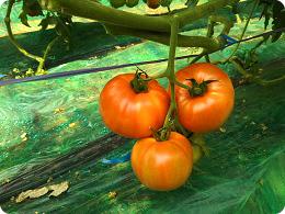 同じ組合農家さんの越冬作トマト