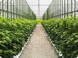 密植栽培に取り組む圃場