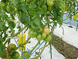 元気に育っているトマト