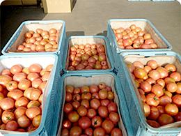 収穫後、コンテナに詰められたトマト