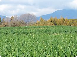 玉ねぎ畑のうしろは山