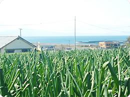 玉ねぎ畑の前は海