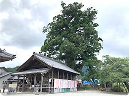加子母のスギ(天然記念物:樹齢千数百年)