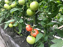 ハウス内のトマトの様子