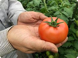 収穫したトマト(麗月)