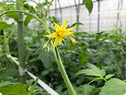 トマトの花(麗月)