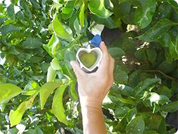 栽培中の『ハート形レモン』