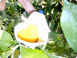黄色く色付いた『ハート形レモン』