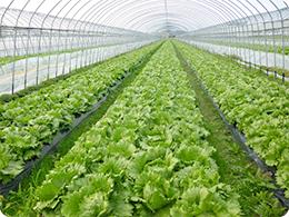 レタスを栽培するハウスその1