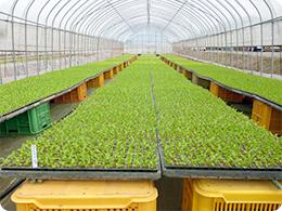 レタスの苗を育苗するハウス