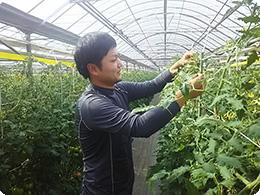 トマトの管理作業をする亮太さん