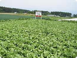 6月頃のモスファーム信州レタス畑