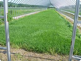 育苗した後は緑肥で土づくり