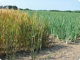 土を休めるための麦作