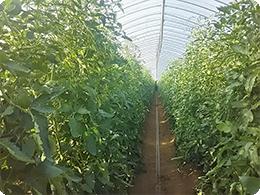栽培中のトマトハウス