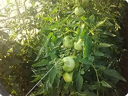 10月に収穫予定のトマト