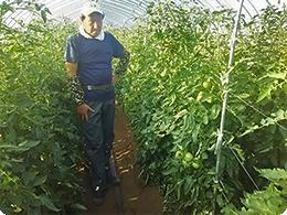 新品種の「ひなた」を栽培中