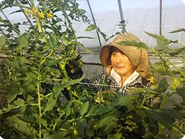 奥様のるり子さん。トマトの管理作業中です。