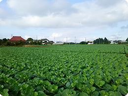 モスのキャベツ畑