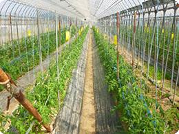 10月のトマトの苗