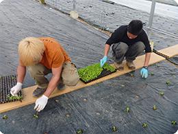 苗の定植作業
