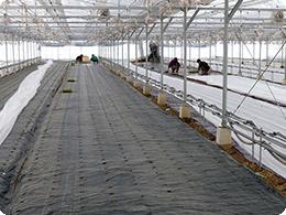 苗の定植作業全体状況