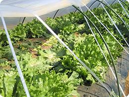 内側の2列から収穫